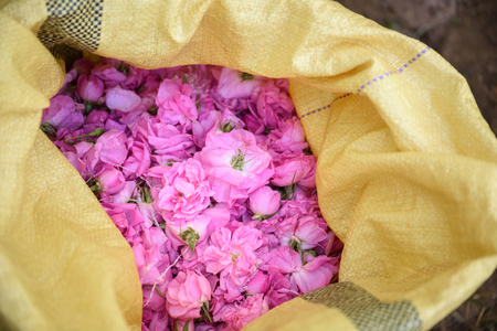 absolute: Harvesting the damask roses in Kalaat MGouna, Morocco