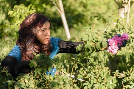 Harvesting the damaschena rose in Kalaat MGouna, Morocco