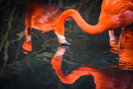 Flamingos or flamingoes are a type of wading bird in the family Phoenicopteridae. Red Flamingos come from America Stock Photo