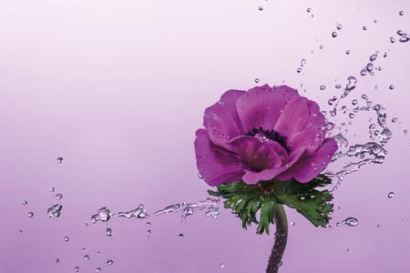 Water splash over Anemone flower close up