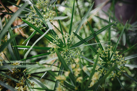 Flowers and leaf of papyrus an acquatic flowering plant, native to Africa Stock Photo