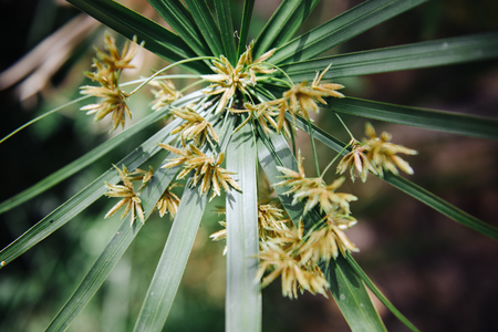 Flowers of papyrus, an acquatic flowering plant, native to Africa Stock Photo