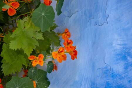 blooming nasturtium on a blue wall