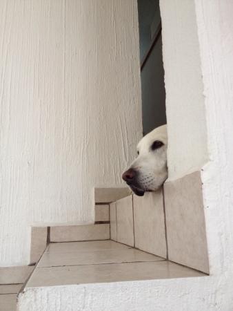 white dog: A hiding dog Stock Photo