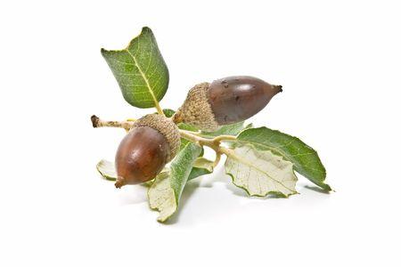 natural sciences: oak acorns Stock Photo