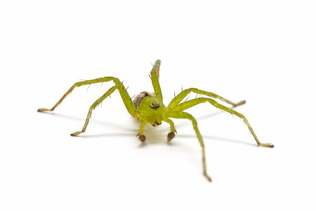 arachnids: green spider on white background