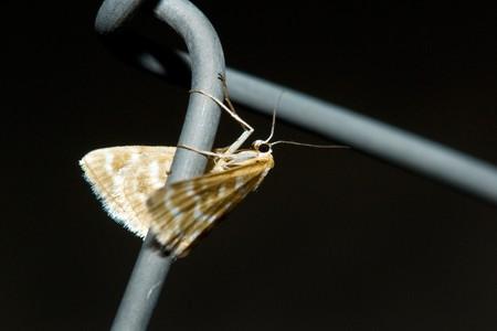 culicidae: moth