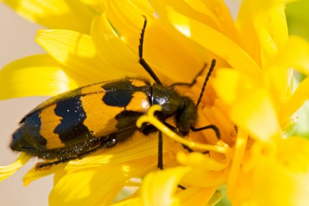 culicidae: insect on a flower