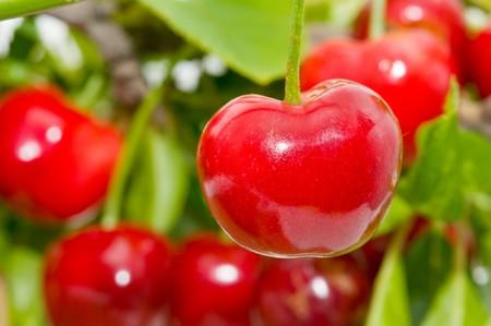 cherries on the tree Stock Photo - 7523692
