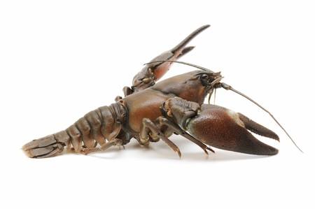 black crab photo