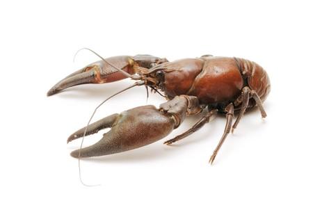 crayfish on white background photo