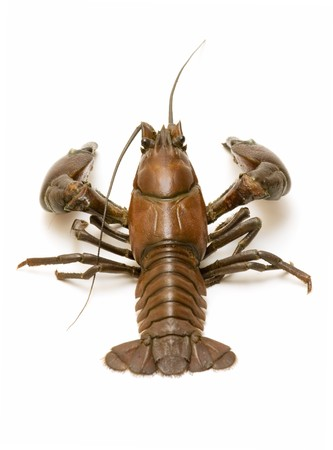 wild river crab photo