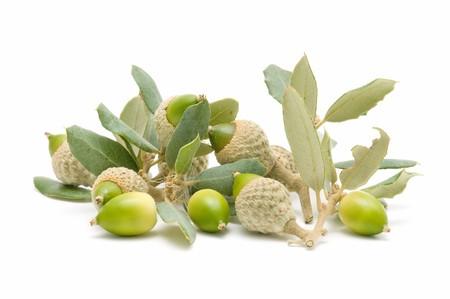 green acorns Stock Photo - 7988442