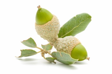 green acorns Stock Photo - 7988439