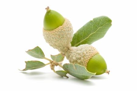 green acorns Stock Photo - 7988439