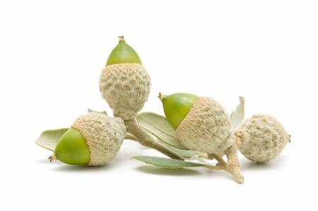 green acorns Stock Photo - 7988421