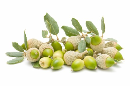 oak acorns Stock Photo - 7988424
