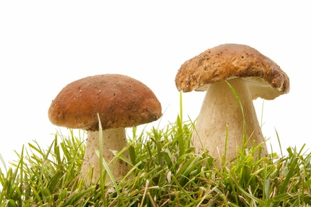 boletus edulis in the forest photo
