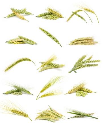 espiga de trigo: colección de orejas de maíz Foto de archivo