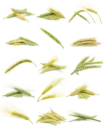 collection of ears of corn Stock Photo