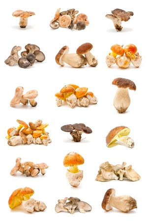 collection of edible mushrooms photo