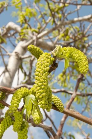 abstracto: nogal en primavera