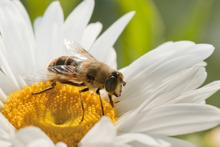 pollination: the bee in flower