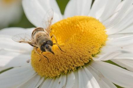the bee in flower photo