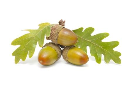 three acorns with oak leaves on white background Stock Photo - 10976168