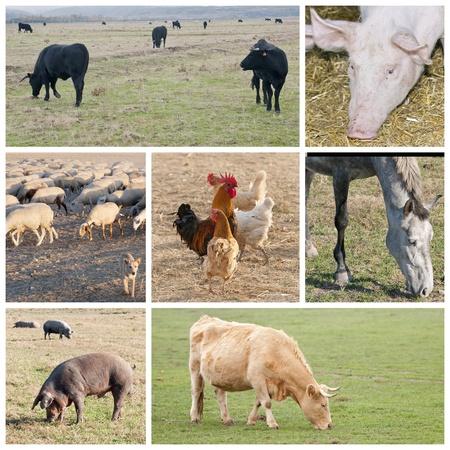 imágenes de los diferentes tipos de ganado, vacas, caballos, cerdos y ovejas Foto de archivo - 11321862
