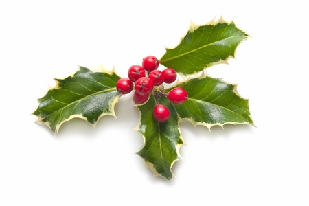 holly plant with berries isolated on white background photo