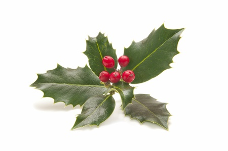 holly berry: holly plant with berries isolated on white background