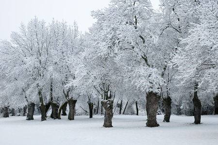 winter landscape of snowy forest photo