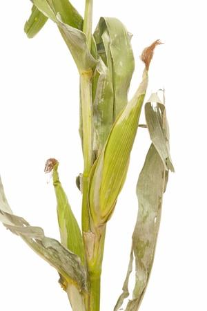 tallos verdes de maíz aislados en fondo blanco Foto de archivo