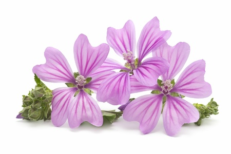mallow: mallow flowers on white background Stock Photo