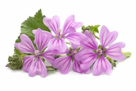 mallow flowers on white background Standard-Bild