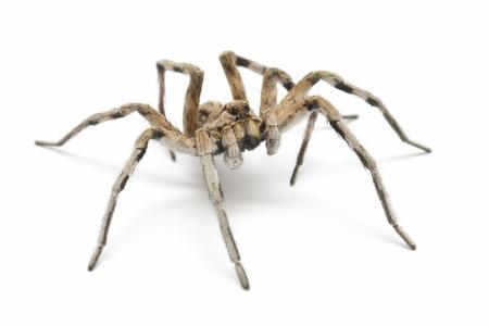 hatred: Wolf tarantula isolated on white background
