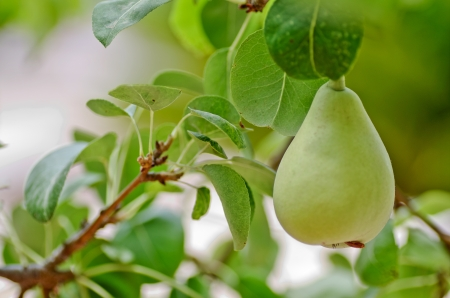 collection of pear Stock Photo - 15651988