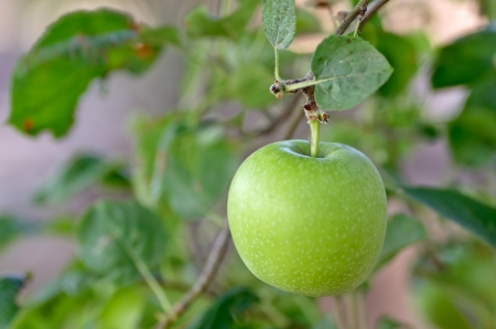 apple tree ready for harvest Stock Photo - 15659892