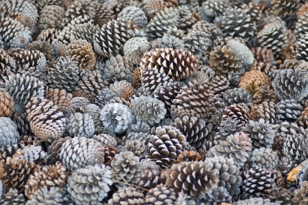 collecting pine cones in the mountains Standard-Bild