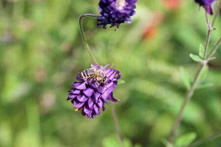 Purple aquilegia vulgaris with a hoverfly 免版税图像