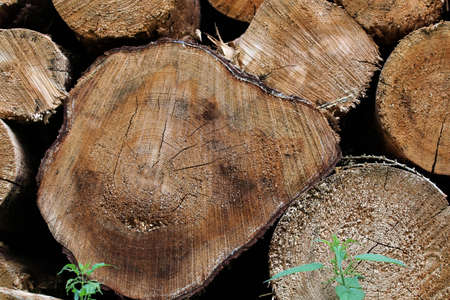 Cut surface of some felled brown tree trunks Banco de Imagens