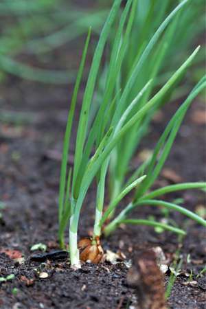 Onions grow outside in a vegetable patch Archivio Fotografico