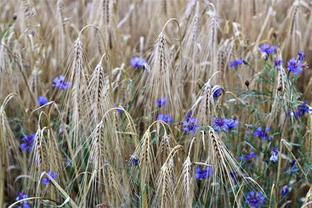 blue cornflowers between cereals in the field