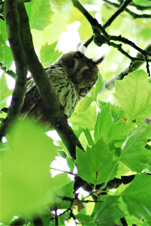 Tawny owl sits in the foliage of the plane tree Stock Photo