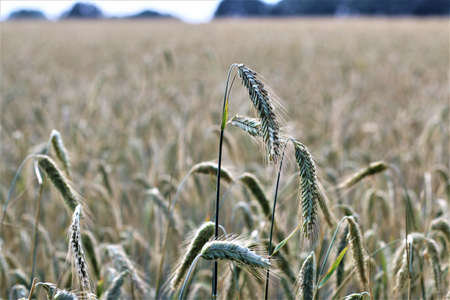 Ear of rye as a close-up in front of a grain field