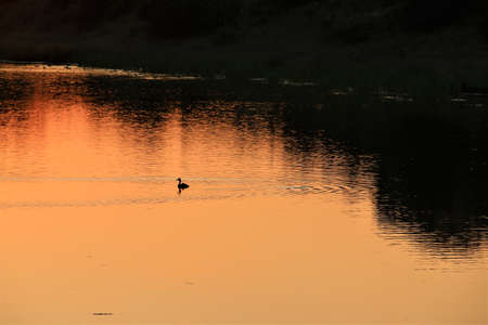 A duck during sunset at a lake with trees on the bank of the lake Banco de Imagens