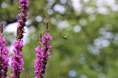 Bee approaching a loosestrife flower against a green trees in the background