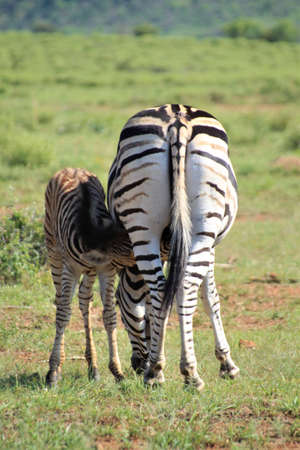 Rear view of a zebramare suckling her foal in the savannah
