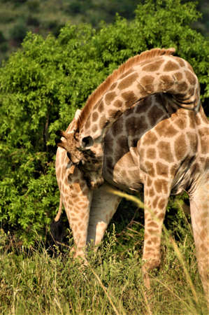 Giraffe sniffs her right hind leg in front of some trees